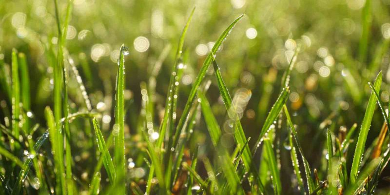 blades of green grass with dewdrops