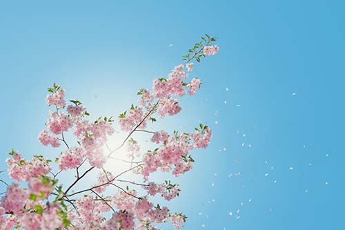 pink cherry blossoms against a blue sky