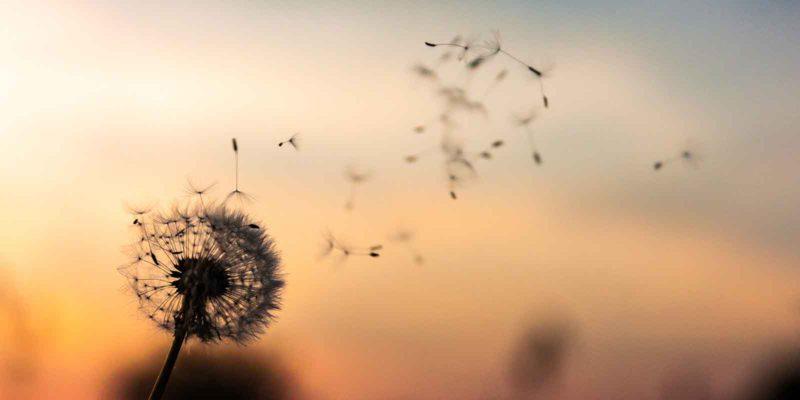 why-you-should-let-bygones-be-bygones-dandelion-seeds-floating-away